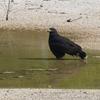 ベリーズ 水たまりの Common Black-Hawk (コモンブラックホーク)