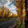 深川市 音江の銀杏並木の黄葉