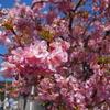 【丹沢】まつだ桜まつり 花見と電車とすべり台、河津桜に染まる松田山