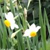 野生の水仙が可憐な花を咲かせています♪