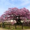 桜とお婆さんの涙
