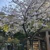 【鎌倉いいね】これが今年最後の鎌倉桜の動画です。