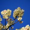 毎年、ソメイヨシノより少し早く咲く白い桜の名前を調べている気がする