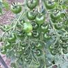 鈴なりミニトマト ~Tufted bell minitomatoes