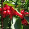 毎年恒例メルボルンのさくらんぼ狩り -Cherry Haven-