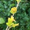 サルスベリの芽も順調に開く