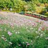 立川・昭和記念公園のコスモスの丘が見頃、イチョウ並木もこれから良さげです