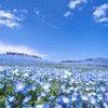 一面に広がるブルーの絶景!「ネモフィラ畑」に行こう♪