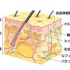 脊髄反射と皮膚受容器(屈曲反射・交叉性伸展反射)