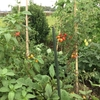【オルかな農園報告⑬~とうもろこしが収穫できた!夏野菜も終了間近~】
