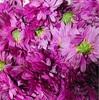 エディブルフラワー 食用菊の簡単・おいしい食べ方