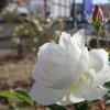 バラのまちにも冬が来た…けれど、いっぱい咲いています