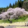 臥龍桜、満開です。