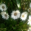 【今日のお花365日】1~5日目「ガーベラ・カーネーション・金宝樹・クリスマスローズ・プリペット」