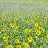 ひまわりとカスミソウの花束