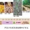 食用のアスパラガスは  キジカクシ科 Asparagaceae クサスギカズラ属 Asparagus  A. officinalis.「キジカクシ科」「クサスギカズラ属」?聞いたこともない名前.??  調べてみたら,  「日本にもアスパラガスの仲間が4種類.『キジカクシ』『クサキカズラ』がその代表で,アスパラガスの和名は『オランダキジカクシ』!!」日本のアスパラの仲間も若芽はアスパラガスそっくり.一度出会ってみたいもの. / アスパラガス(2)