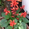 真夏の花サルビア