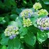 下田公園で紫陽花を愛でる@α7