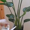 お部屋の観葉植物にオススメの北欧ジョウロ フィンランドのPLASTEX(プラステックス)