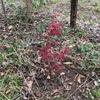 楓を植える