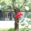夏のバラ ブルーベリーの摘み取り研修