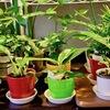 ときどき観葉植物?