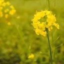 菜の花日記