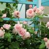 フランスのデルバール社のバラ