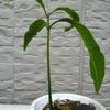 マンゴー 発芽後