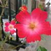 山茶花(さざんか)のような花