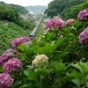 名越の紫陽花