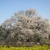 一心行の大桜開花 南阿蘇村 (熊本県)