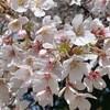 無観客の桜