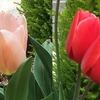 今年もチューリップが開花! ムスカリとの共演も美しい!