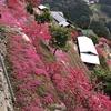 吉野川市美郷、高開の芝桜が見ごろに