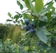 JALの農園でブルーベリー狩り / Blueberry picking at JAL Agriport