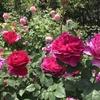 バラ栽培講座(5) ボカシ肥料の作り方と効果と活用