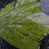 は?これって何の葉?