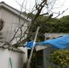 植木切断1(ナツメの枯れ木を切断)