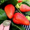 超BIG!スカイベリーのイチゴ狩り「いちごの里」低農薬・有機栽培で安心