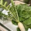 【白菜】結球することなく収穫。でも食べれば美味しいんです!!