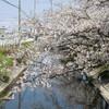 お散歩桜の頃 第2週追伸