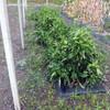 ジャンボピーマン畝の除草