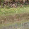 田の畔にできた泡の玉とアオスゲとノゲヌカスゲのこと
