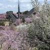 しだれ桜まつり2014 幸田町