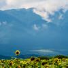 🌻PONYついに新聞に載る。琵琶湖でひまわり撮っていたら・・