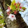 2021年ギリギリ桜を見ながら『夜桜四重奏』新巻を読もう、後半。(土曜日、晴れ)