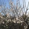 春の老木の梅!春先は視覚、初夏には味覚を楽しませてくれる長老