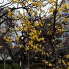 亀戸天神社の蝋梅が満開