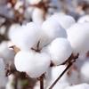 【新疆(しんきょう)綿】新疆ウィグル自治区の問題に私達はどう向き合うべきか